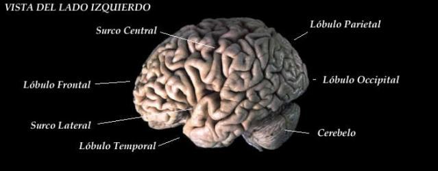 El cerebro humano, hemisferio izquierdo