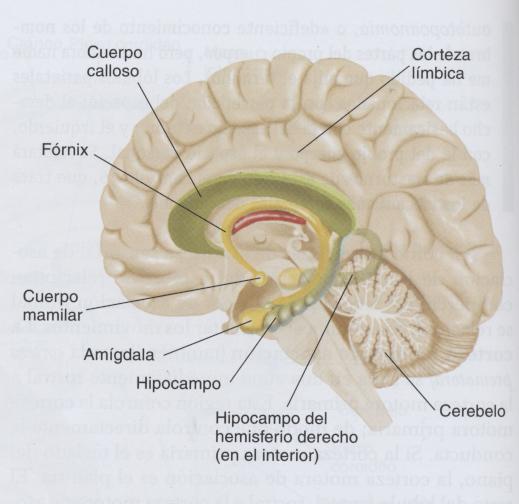 limbico1