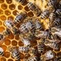 14152490-macro-disparo-de-un-enjambre-de-abejas-en-un-panal-de-abejas